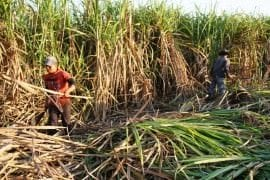 Sector azucarero en crisis por indefinición de precios, falta de maquinaria y robo de caña