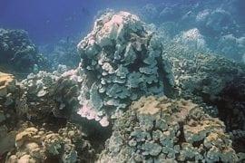 Dos blanqueamientos coralinos masivos han menguado ecosistemas marinos